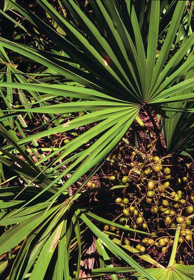 Saw Palmetto (Wikipedia)
