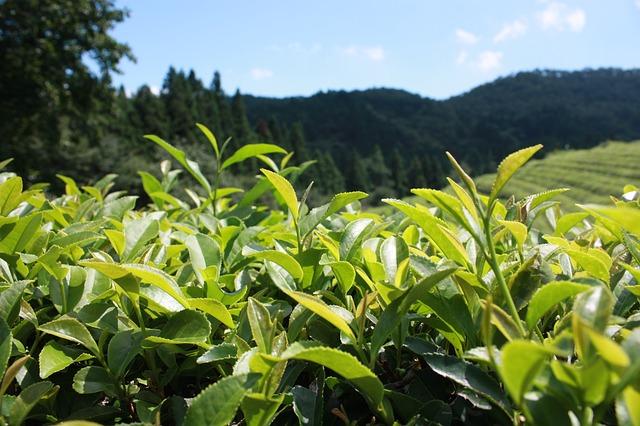 herbata plantacja